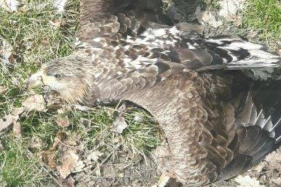 Seltener Seeadler hängt mit Schwinge in gefährlicher Falle