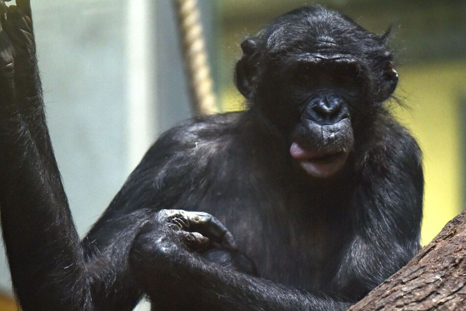 Das Foto aus dem Januar 2019 zeigt einen Bonobo-Affen.