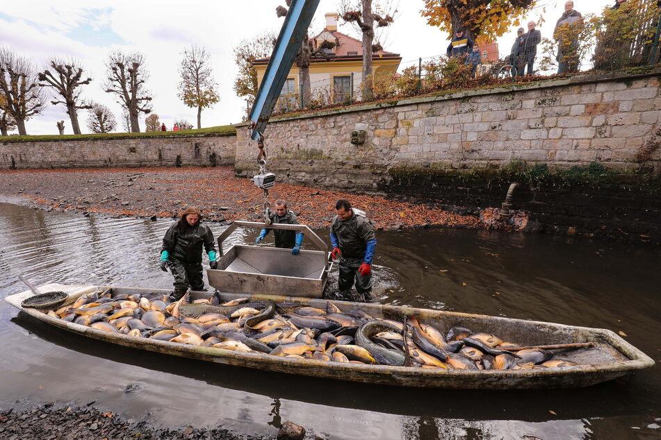 Die Teichwirtschaft Moritzburg gehört zu den großen Karpfenproduzenten in Sachsen. Karpfen werden auch im Schlossteich gezüchtet - und abgefischt.