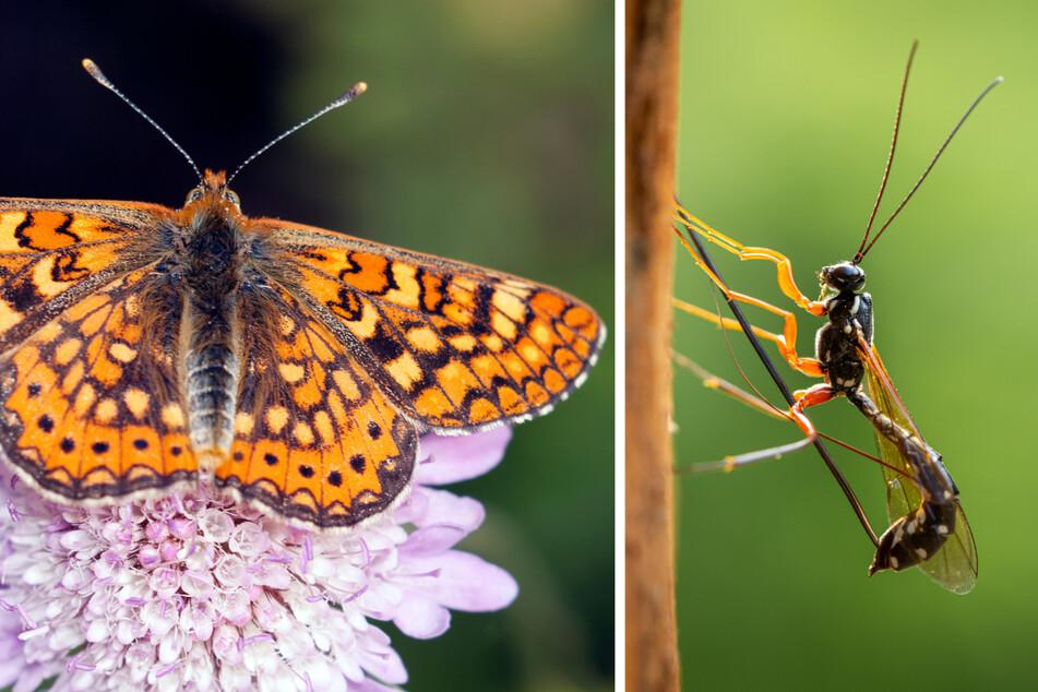 Mehrere der Scheckenfalter (Euphydryas aurinia) enthielten Larven von Schlupfwespen (Ichneumonidae), doch die Tierforscher bemerkten dies erst, als es bereits zu spät war.