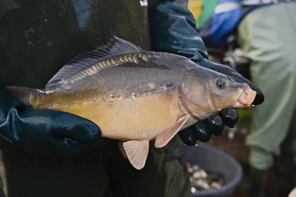 Ein Fischer hält einen Spiegelkarpfen in den Händen.