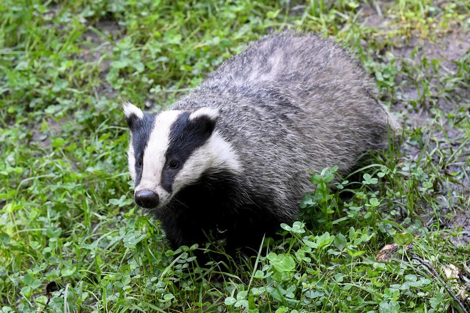 Im Kampf gegen eine ansteckende Tierkrankheit sollen in England Tausende Dachse gekeult werden.