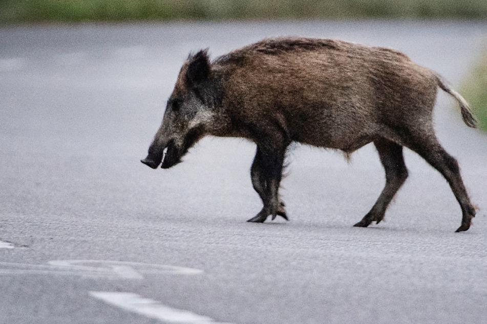 Ein Wildschwein läuft über eine Straße. Über eine Plattform sollen nun Daten zu Wildtieren gesammelt werden. (Symbolbild)