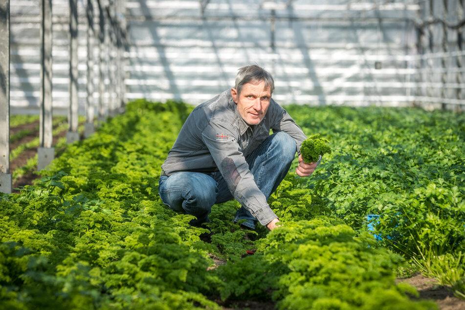 Gärtner Ralf Naumann (51) schneidet Petersilie. Sein Grünzeug will er jetzt per Lieferservice an die Kunden bringen.