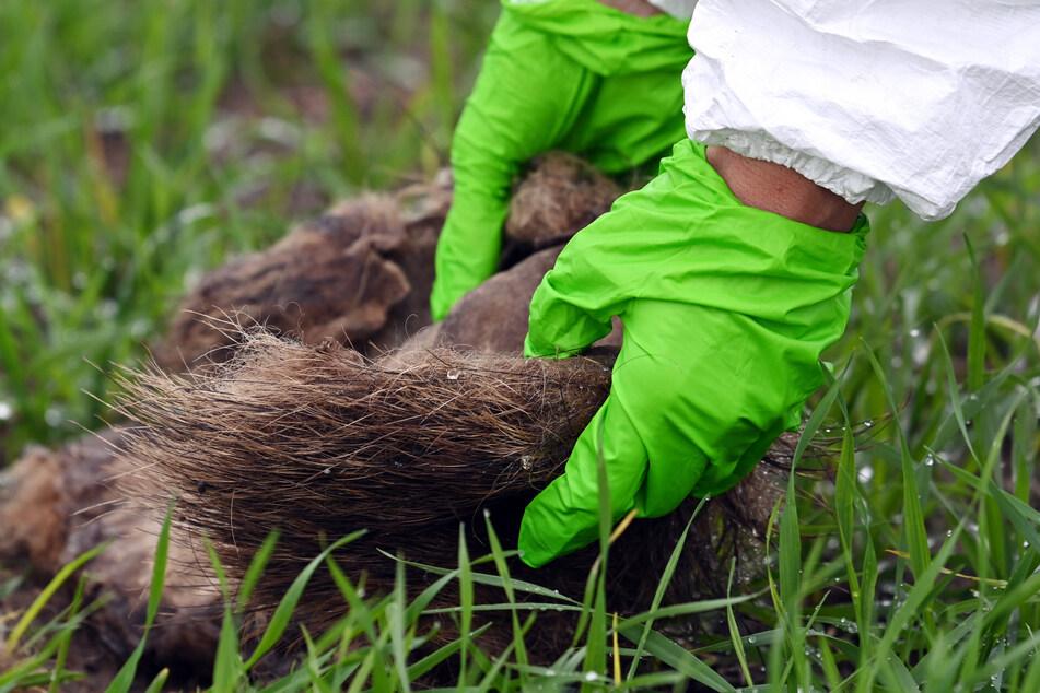 Eine Veterinärmedizinerin untersucht den Fund eines Wildschweinkadavers. Die Gefahr, die Afrikanische Schweinepest in NRW einzuschleppen, bleibt weiterhin hoch.