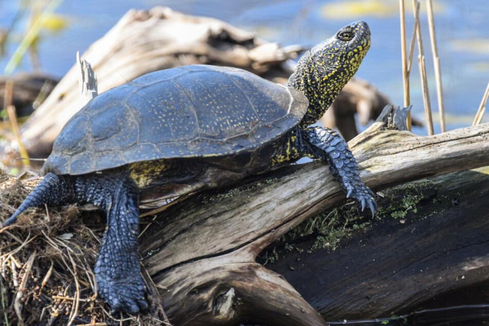 Nur die Europäische Sumpfschildkröte ist in Norddeutschland heimisch. Sie unterscheidet sich optisch von ihren ausgesetzten Verwandten durch Punkte auf Körper und Panzer.