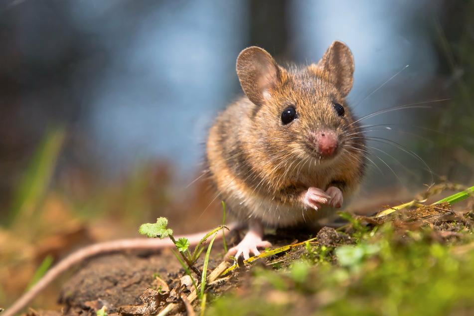 Erwachsene Mäuse können zwar schwimmen und sich an Land retten, sind dort aber Beutegreifern schutzlos ausgeliefert. (Symbolbild)