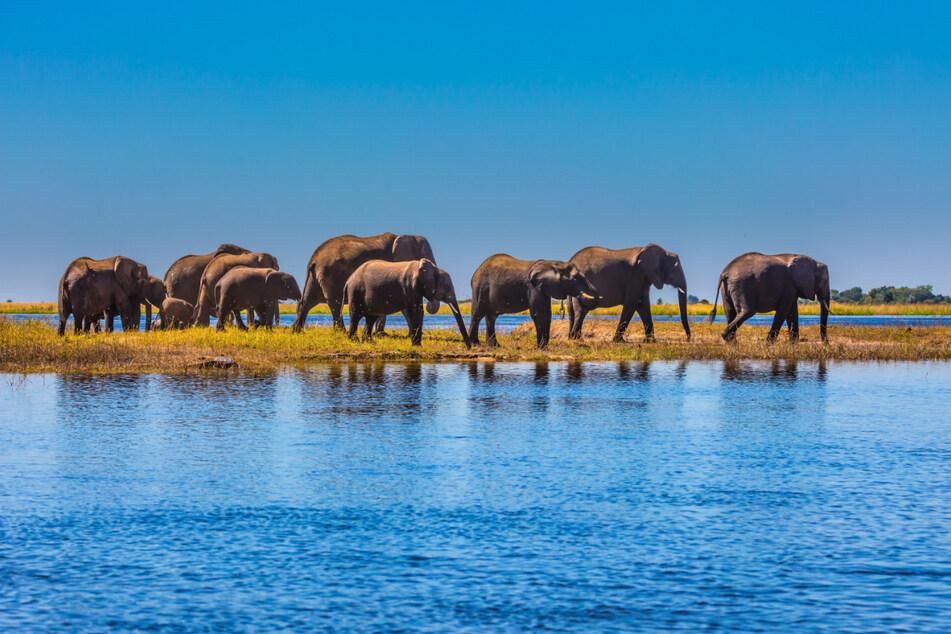 Eine Gruppe Elefanten im Chobe-Nationalpark in Botswana.