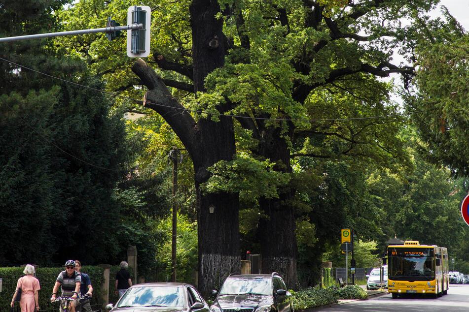 Die Eichen an der Hüblerstraße werden auf über 350 Jahre geschätzt. Die Kaditzer Linde ist wesentlich älter, befindet sich aber nicht auf städtischem Boden.
