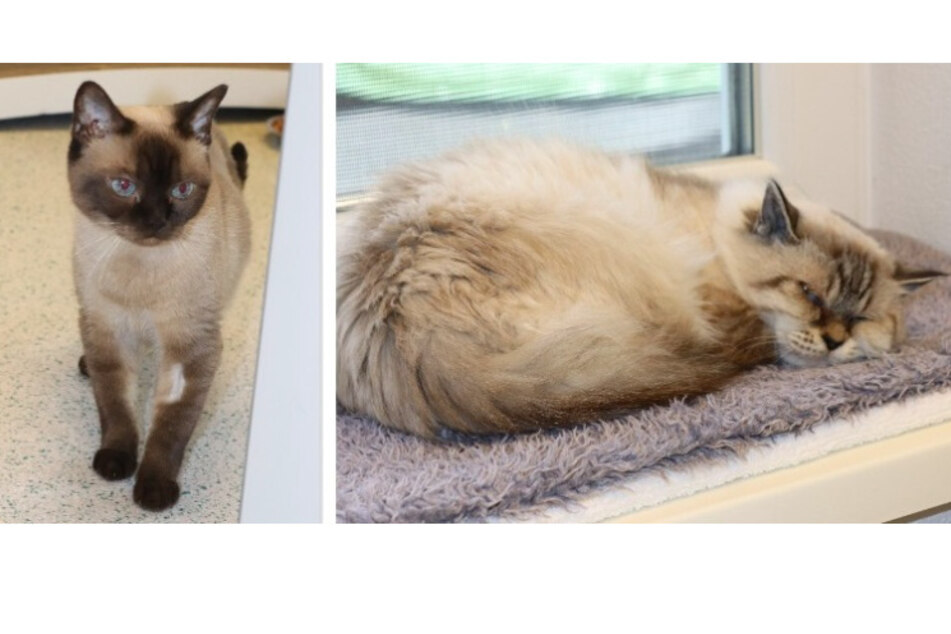 Siam Katzen Pauline und Wuschel.