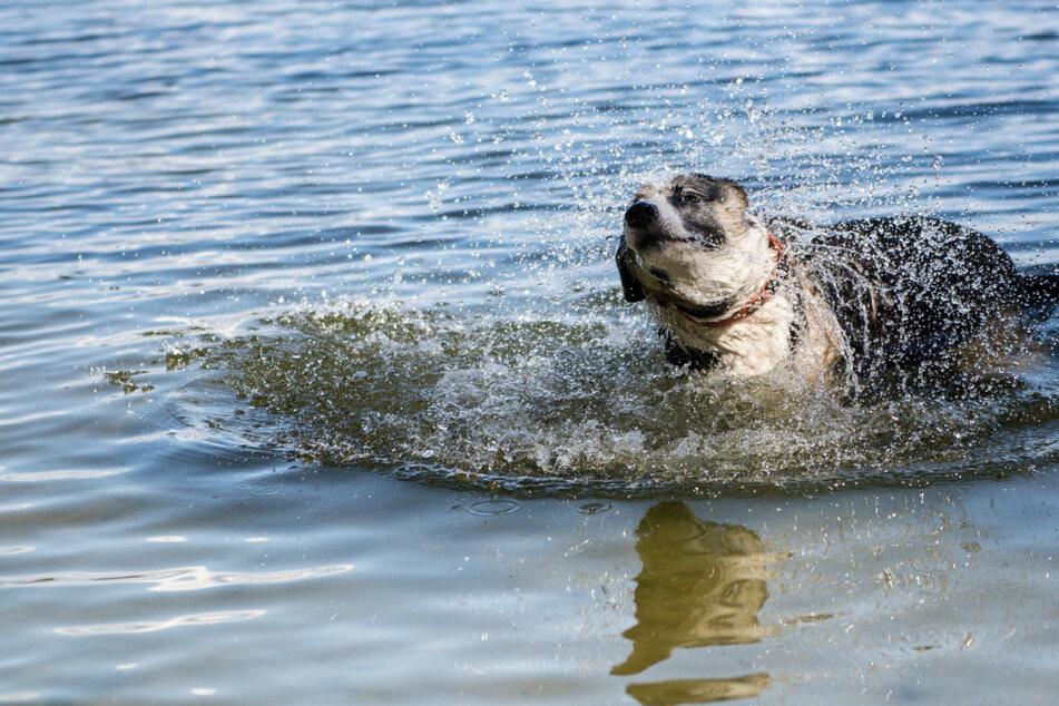 Hunde in Gefahr! Exotische Giftalge in Hamburger Badesee gefunden