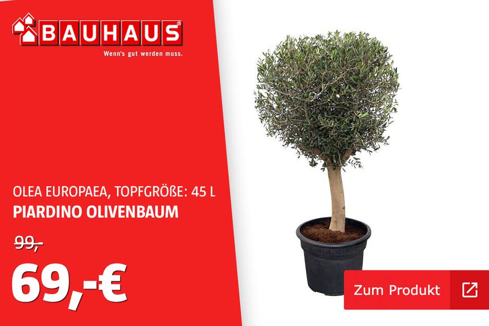 Olivenbaum 45 L für 69 statt 99 Euro