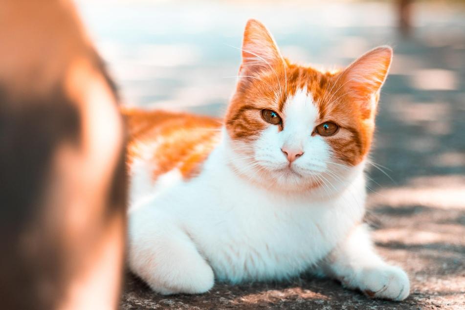 Hauskatzen können ein durchschnittliches Alter von 15 Jahren erreichen.