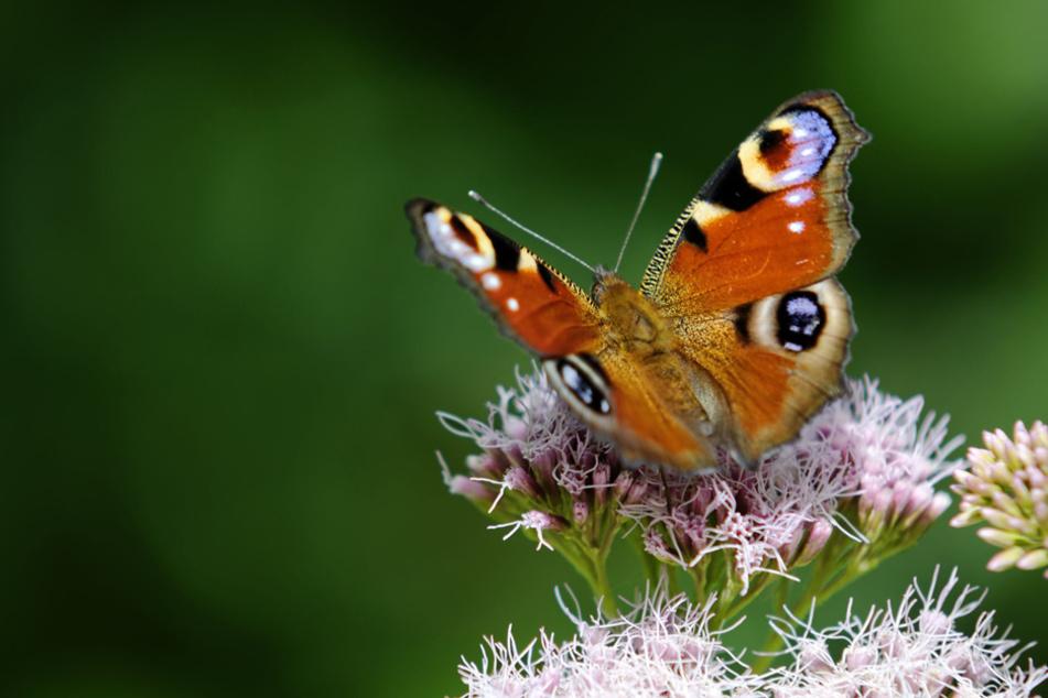 Hitze, Pestizide, Betonwüsten: 494 Schmetterlingsarten könnten bald verschwinden. Für immer!