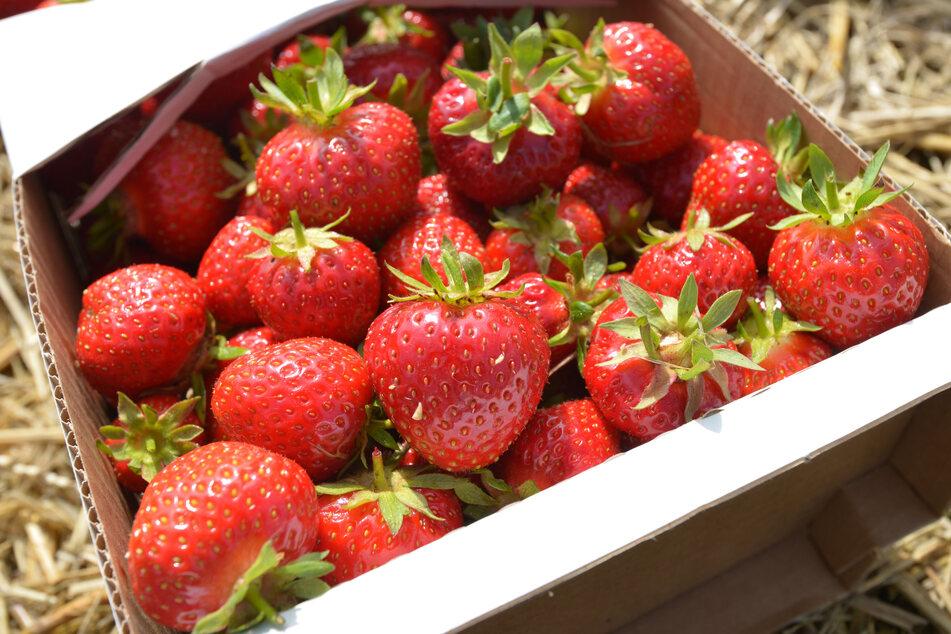 Start in die Erdbeer-Saison: Hier gibt es süße Früchte frisch vom Feld