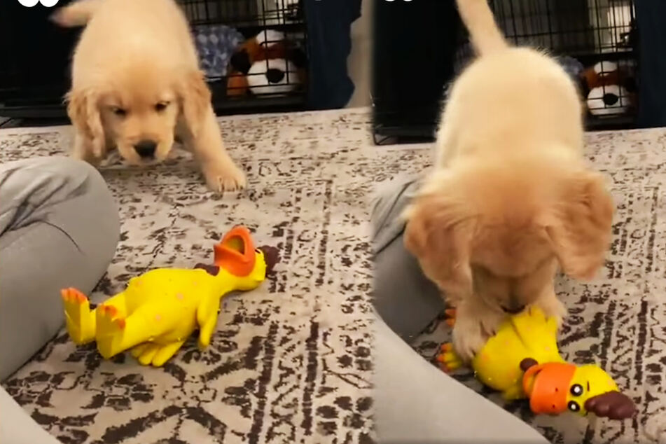 Puppy goes viral with his adorable reaction to a new toy