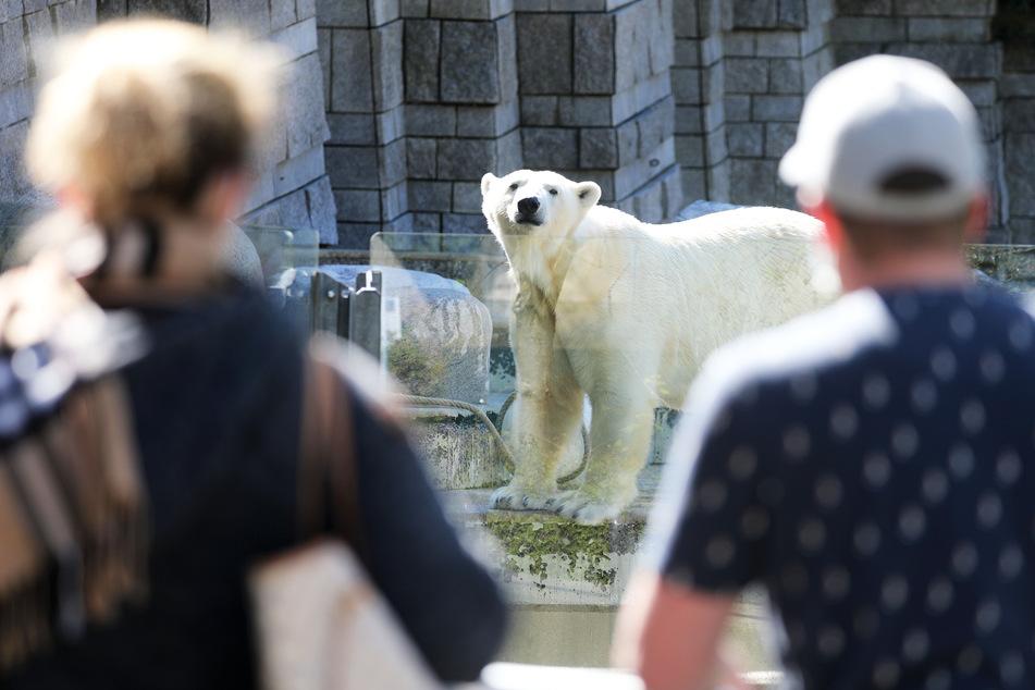 Nach über einhundert Jahren endet die Haltung von Eisbären im Wuppertaler Zoo. Das letzte Tier zog am Dienstag aus seinem Gehege, wie der Zoo informierte.