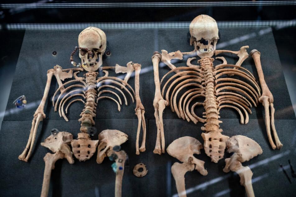 Die Knochen aus einem Doppelgrab von zwei vermutlichen Opfern der Pest in einem Museum.