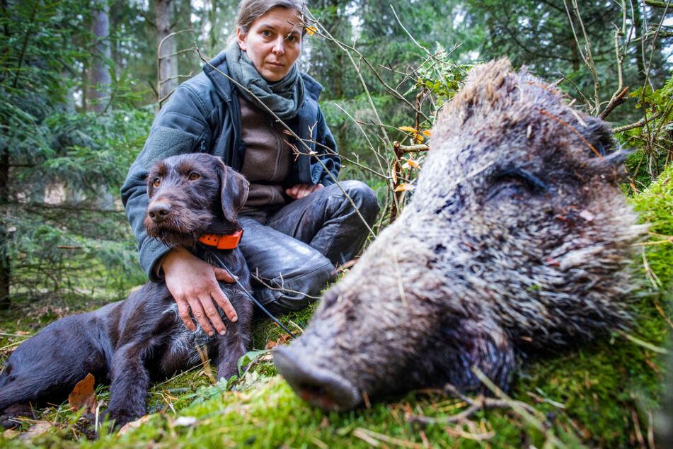 Neue Waffe gegen Tierseuche: Spezialhunde gehen in Sachsens Wäldern auf Wildschwein-Streife