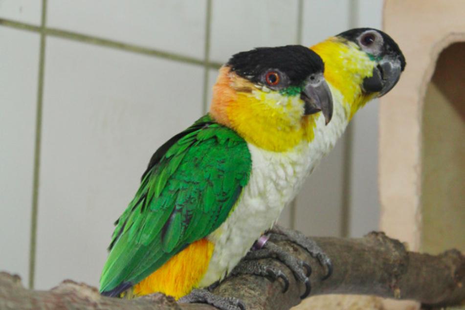 Grünzügelpapageien im Tierheim.