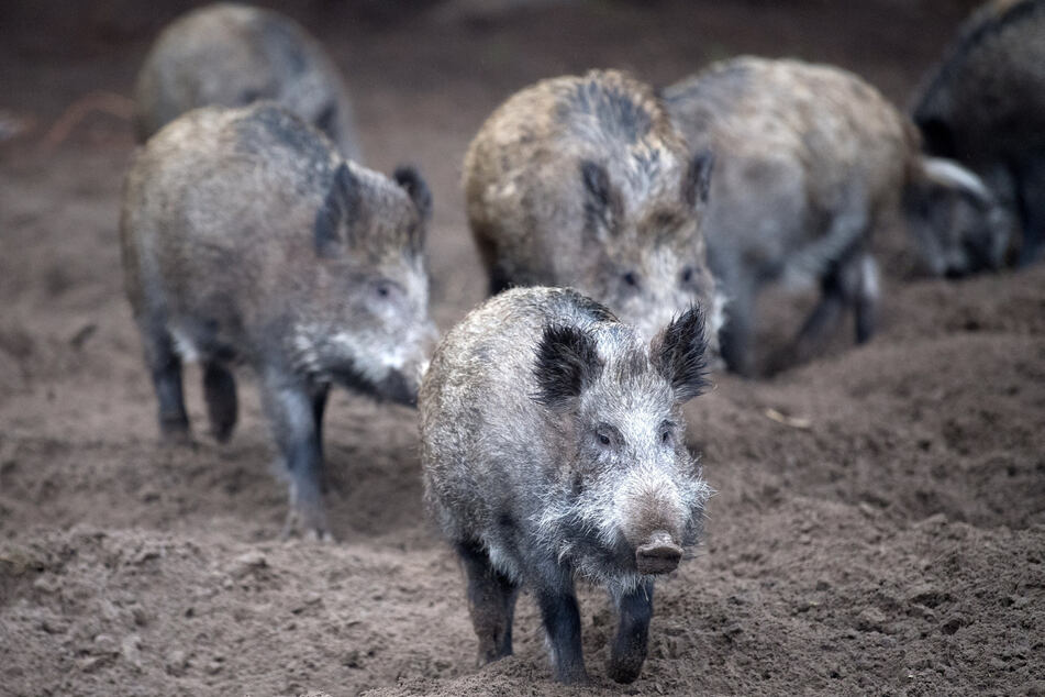 Schweinepest rückt immer näher