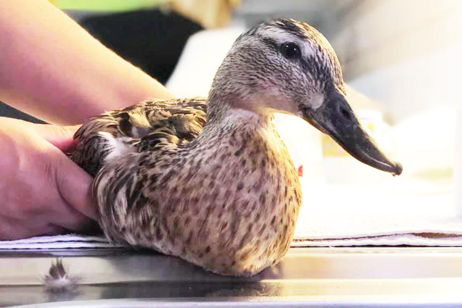 Diese Ente hat nun keine Füße mehr.