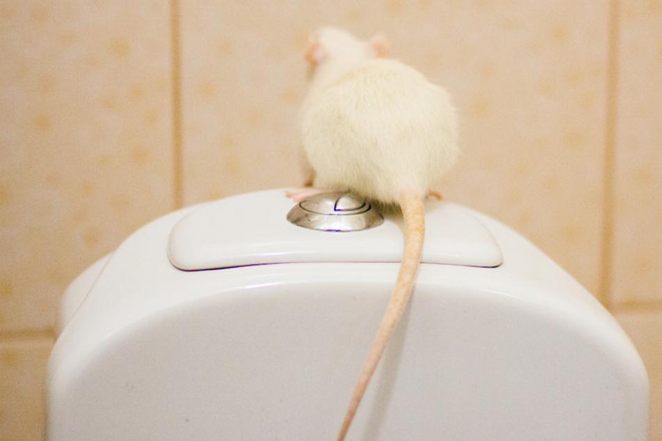 Blanker Horror im Badezimmer: Ratte klettert durchs Kanalrohr in Toilette!