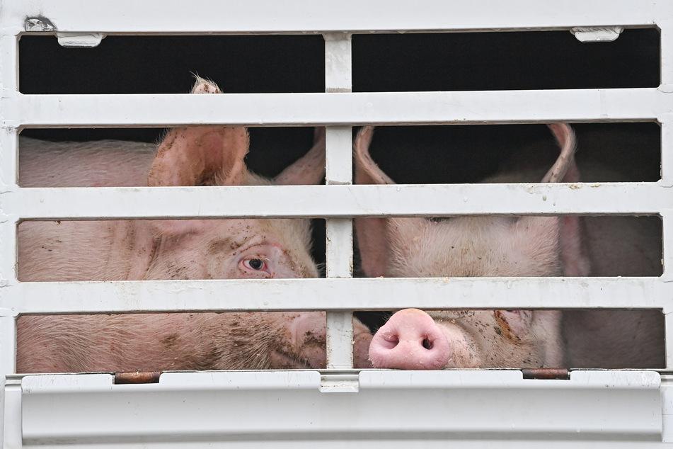 Die Corona-Ausbrüche bei Tönnies und Westfleisch haben im vergangenen Jahr die Zahl der in NRW geschlachteten Schweine deutlich sinken lassen.