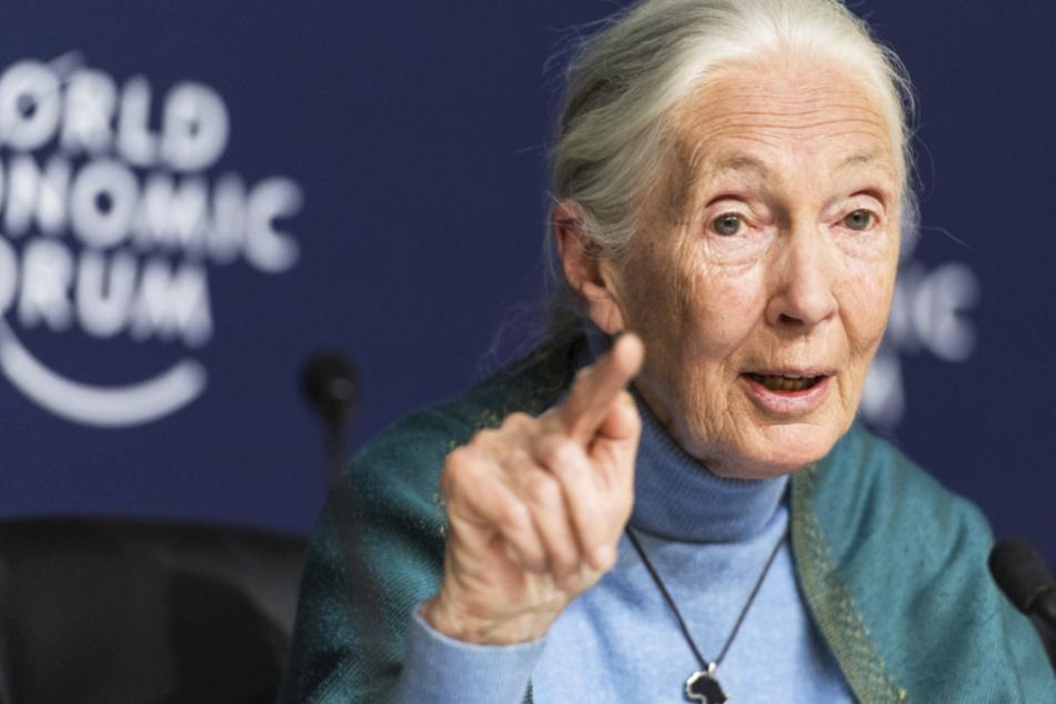 """Die legendäre Verhaltensforscherin Jane Goodall ist die Botschafterin des Dokumentarfilms """"Sea of Shadows"""". (Archivbild)"""