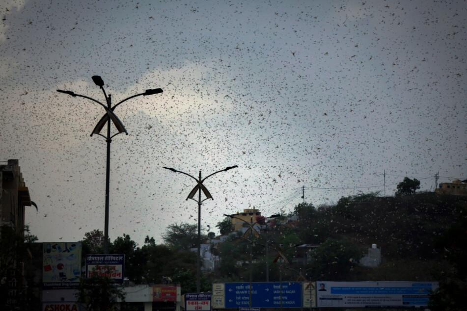 Heuschrecken verdunkeln den Himmel über der Stadt Ajmer. Ganze Schwärme von Wüstenheuschrecken haben die Ernten im indischen Kernland vernichtet und bedrohen die Wirtschaft.