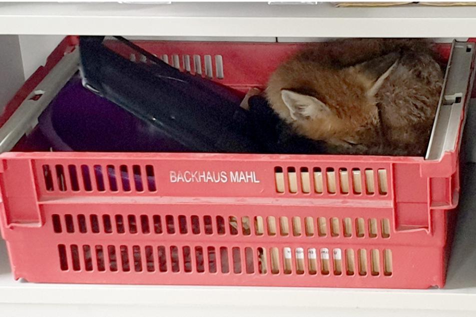 Erwischt! Fuchs schnüffelt auf der Suche nach Futter in Firmenküche