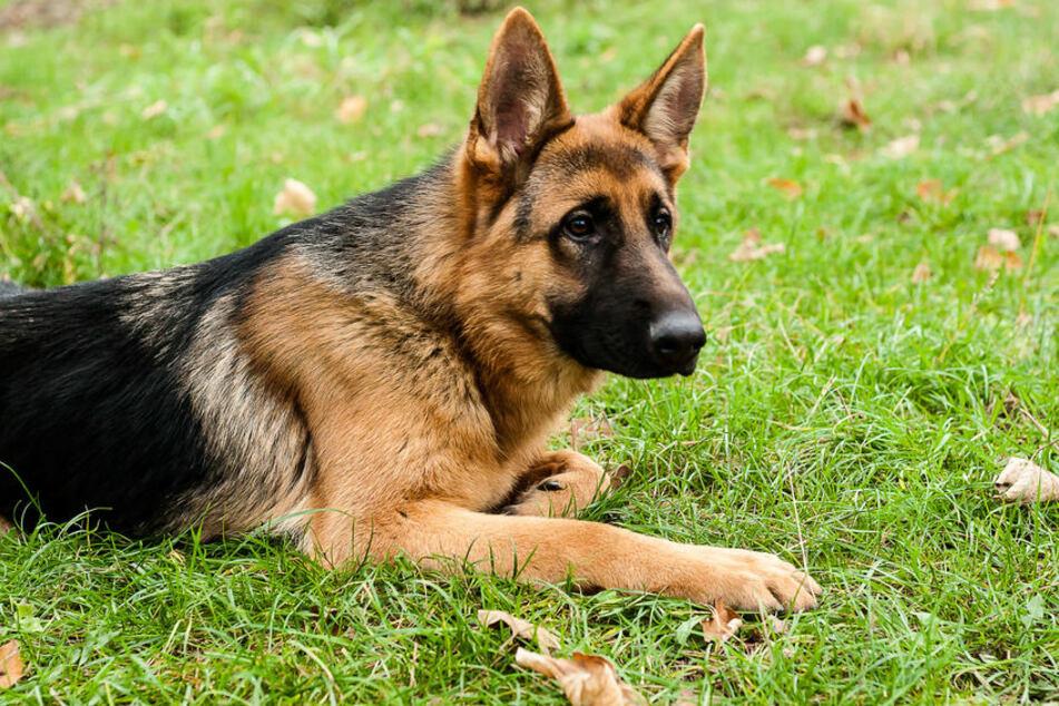 Der Schäferhund hatte sich mit Corona infiziert und ist gestorben. (Symbolbild).