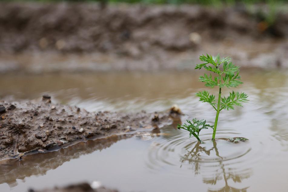 Totalausfall der Ernte, tote Tiere: Enorme Flut-Schäden in der Landwirtschaft!