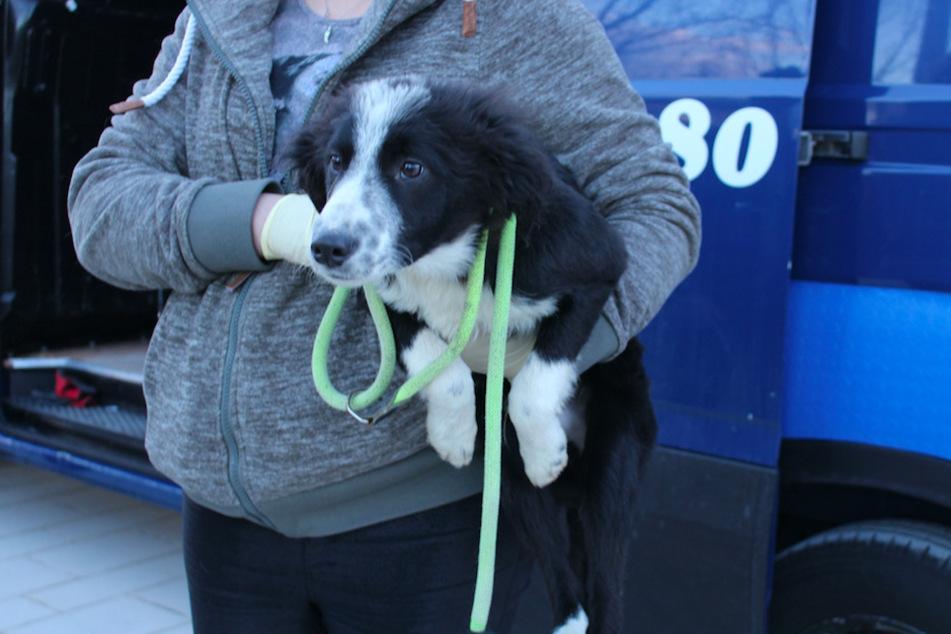 Junghund Peter wurde beschlagnahmt und sucht nun ein neues Zuhause.