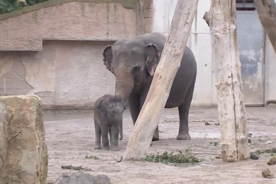 Elefanten-Mama Rani und Jungtier Kiran konzentrierten sich vor allem aufeinander, um dem Trubel zu entgehen.