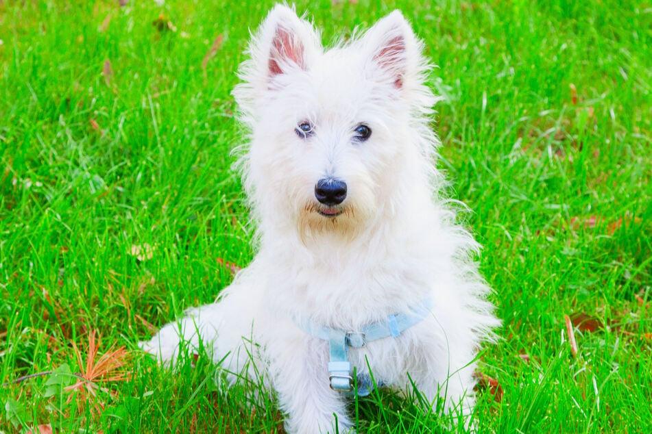 Hunde sind zu unfassbaren Leistungen imstande: Wenn sie unbedingt wollen, finden sie sogar zig Kilometer weit ihren Weg nach Hause. (Symbolbild)