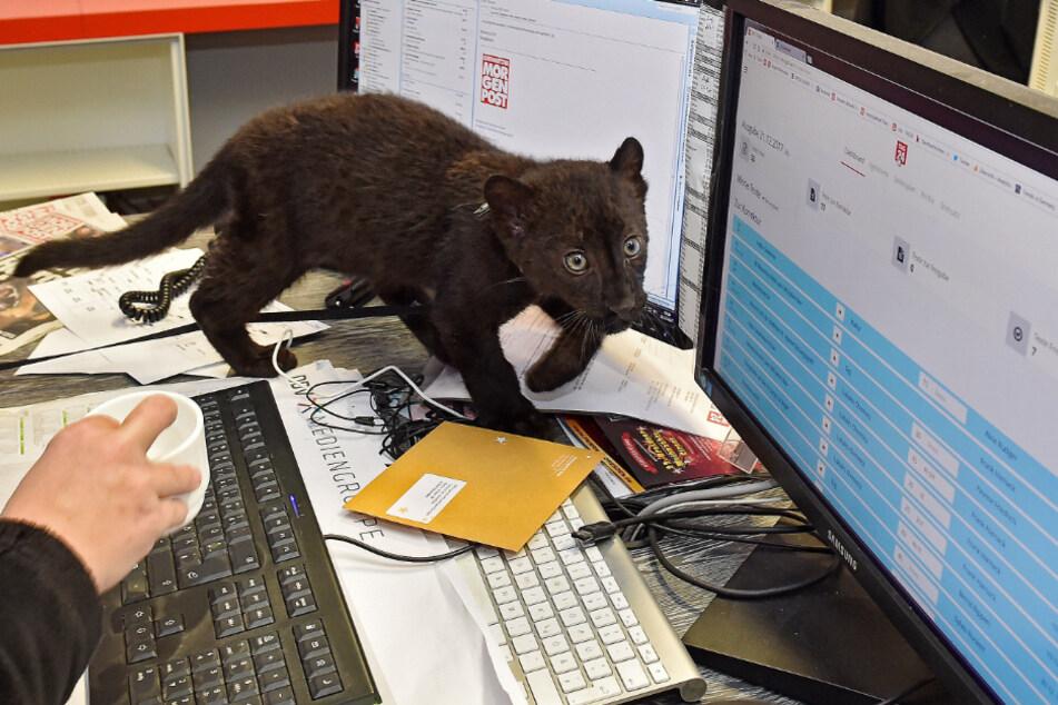 Beim Antrittsbesuch in der Redaktion tapste das Pantherbaby wagemutig über die Computertastatur.