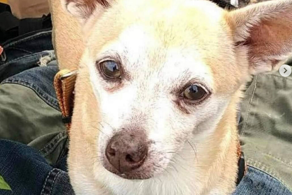 This chihuahua is Pedro's support dog and he was stolen.