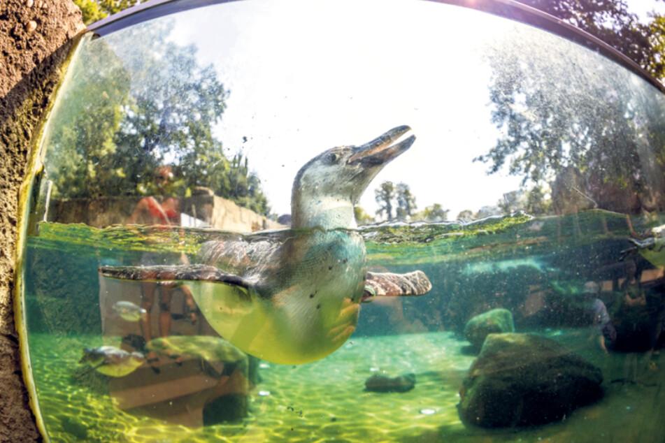 Die Pinguine im Zoo haben freilich ihr eigenes Badebecken und können sich so ganz gut abkühlen.