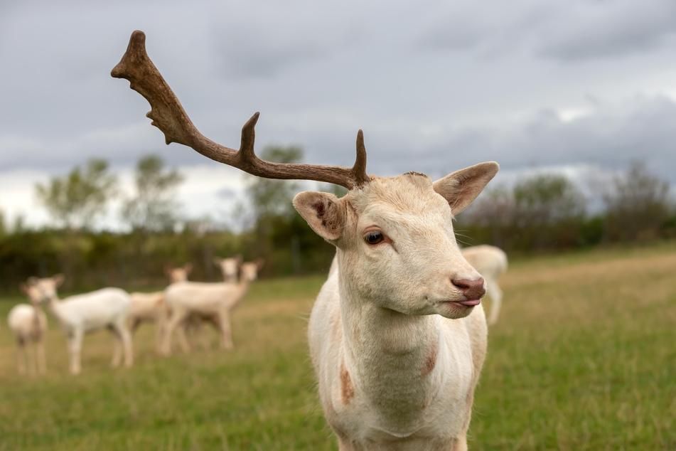 Hirsch vom Sonnenlandpark ist neuerdings ein Einhorn