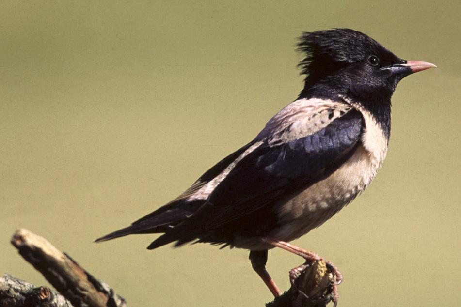 Wohl auf der Suche nach Futter sind derzeit in Bayern die seltenen Vögel unterwegs.
