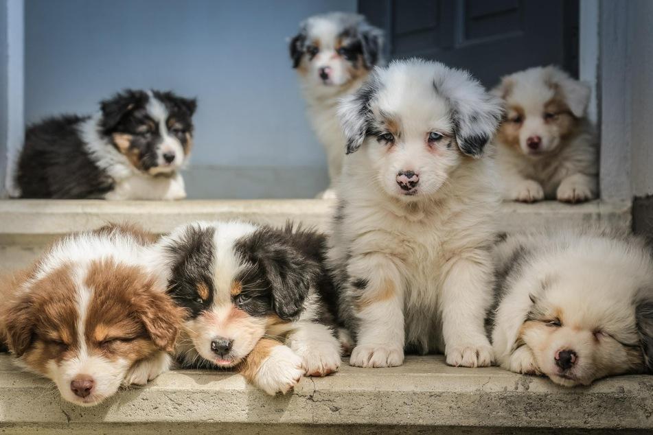 Hunde sollte man schon im Welpenalter gegen Tollwut impfen.