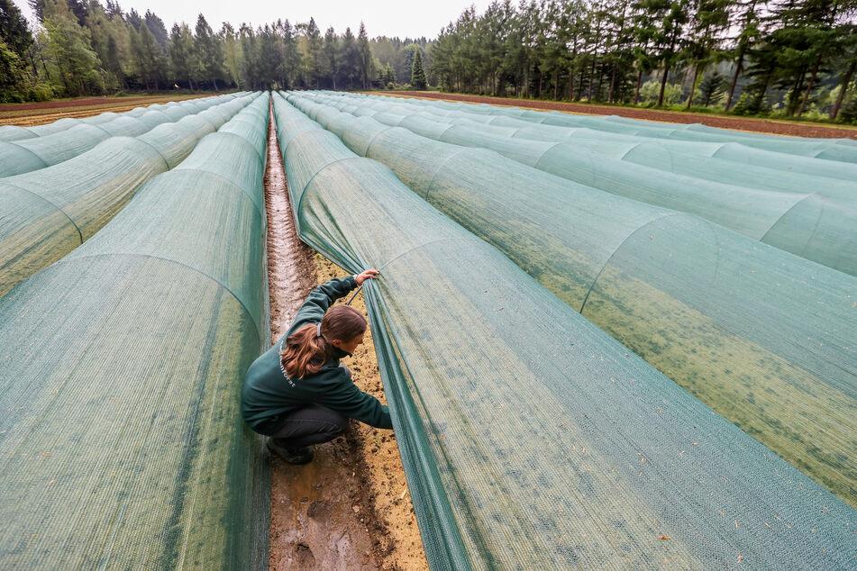 Unter diesen grünen Schutzplanen wachsen junge Buchen heran.