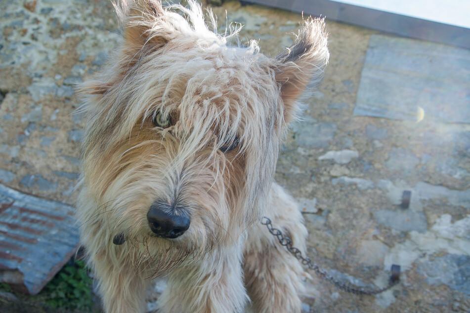 Bilder wie dieses könnten bald der Vergangenheit angehören: Halter ist es laut der neuen Hundeverordnung untersagt, ihr Tier anzuketten.