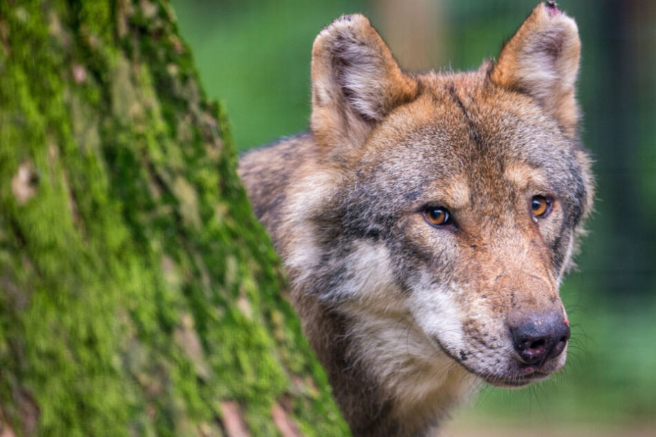 Wölfe: Schwer verletzter Wolf im Kreis Harburg hatte Schusswunde