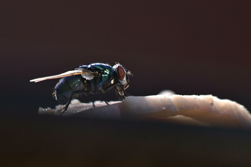 Flies are usually harmless, but one of the small insects recently caused an explosion in France (stock image).