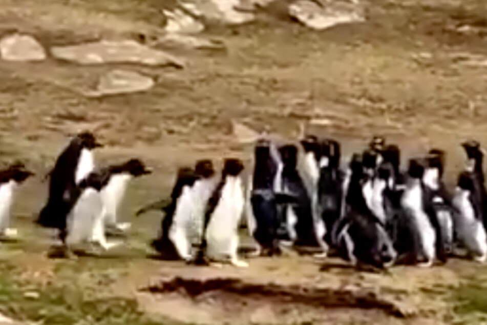 Two penguin gangs stop for a hilarious meet and greet
