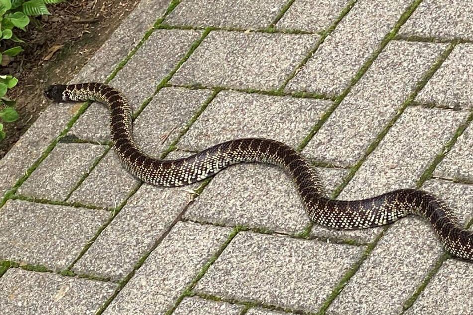 Die Schlange entwich vermutlich aus einem Terrarium (Symbolfoto).