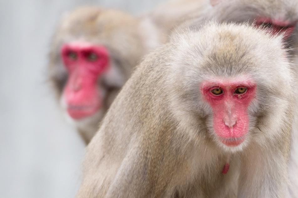 Alzheimer-Affen für Forschung patentiert: Gegner legen Einspruch ein!