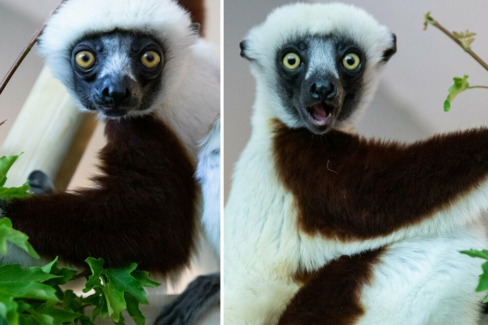 Berlin: Vom Aussterben bedroht: Süßes Lemuren-Paar hüpft und springt jetzt im Berliner Tierpark